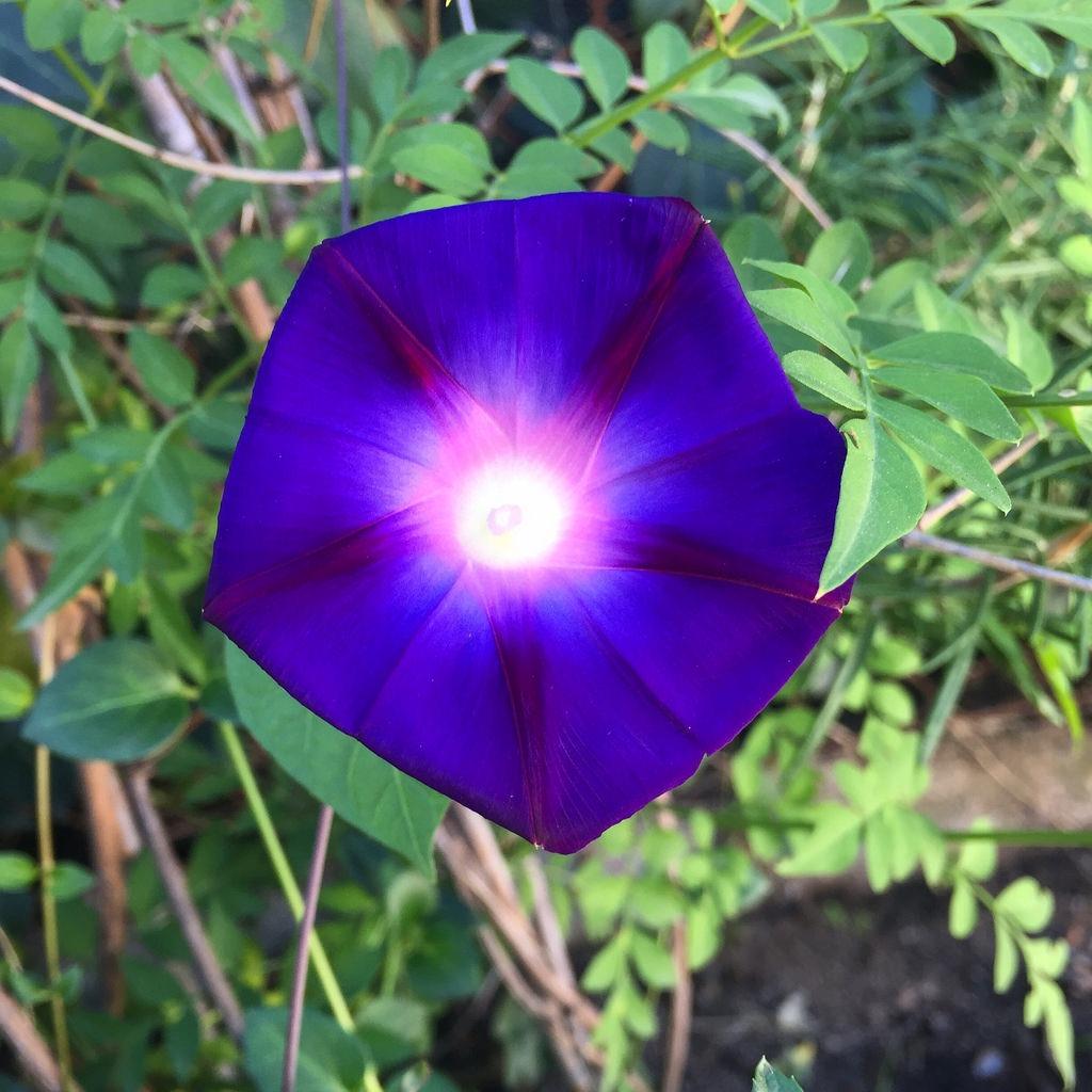 Detalle de la flor Campanilla Morada