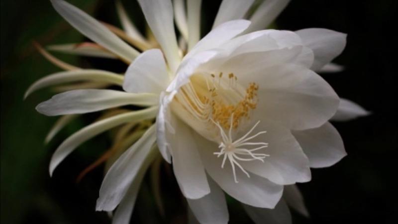 Detalle de la flor Dama de Noche