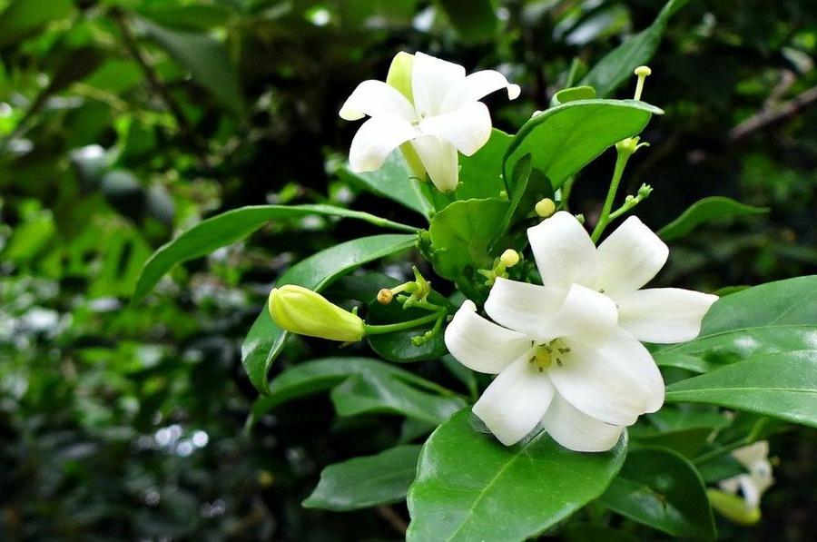 Detalle de la flor de Jazmin