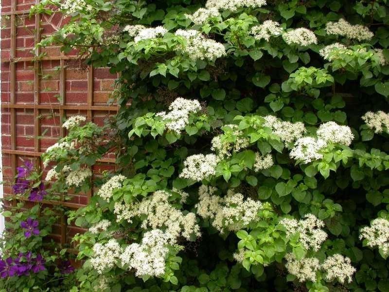 Grupo de hortensias en un jardín