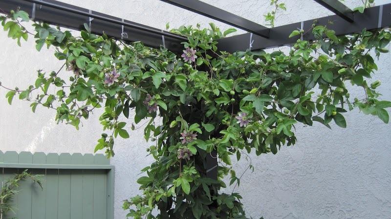 Esquina de una pérgola cubierta con Pasiflora