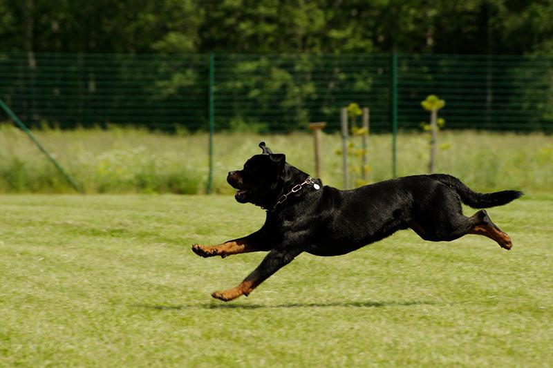 perro rotwailer ahuyentador